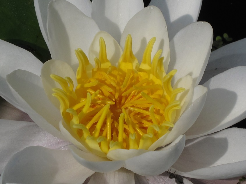 Yoga leiden, yoga voorschoten, lotus bloem, reiki leiden, reiki voorschoten